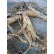 Молочай Палласа, корень 10г (мужик-корень)