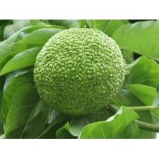 Адамово яблоко, 1 плод