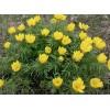 Адонис весенний (стародубка) трава, 100г