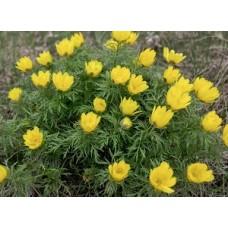 Адонис весенний (стародубка) трава, 100г - купить