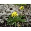 Патриния сибирская, безразличка (Patrinia rupestris), 20г