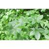 Элеутерококк листья, 50г