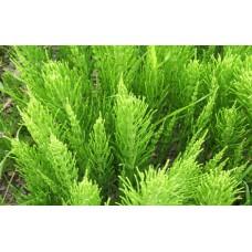 Хвощ полевой трава, 50г - купить