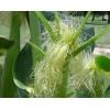 Кукурузные рыльца, 50г