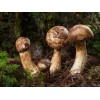 Японские грибы мацутаке против онкологии