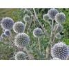 Настойка из семян мордовника от атеросклероза