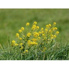Сурепка трава, 50г - купить