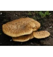 Настойка гриба трутовик, 50мл