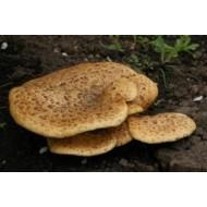 Трутовик гриб, 100г