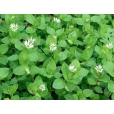 Звездчатка (мокрица) трава, 50г - купить