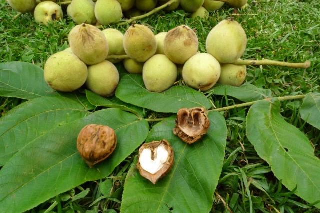 Применение маньчжурского ореха против глистов