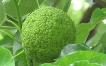 Адамово яблоко рецепты приготовления и способы лечения от рака
